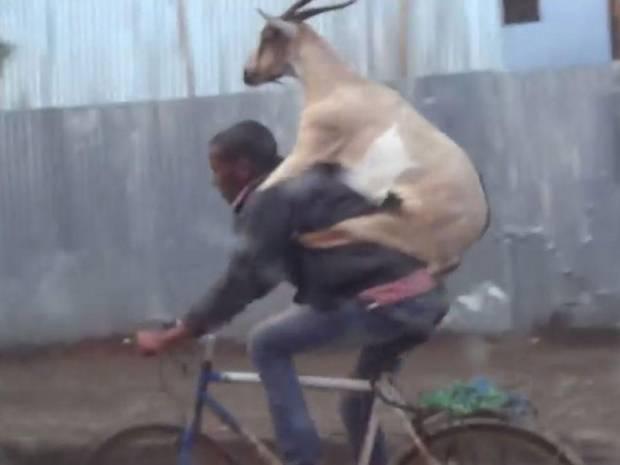 Goat riding a guy riding a bike