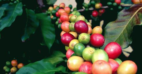 Ethiopia to Brand and Trademark More Coffee Products