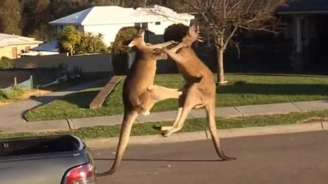 Two Boxing Kangaroos Beat Up Each on Suburban Street in Australia