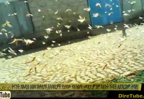 Desert Locusts in Addis Ababa May 15, 2014