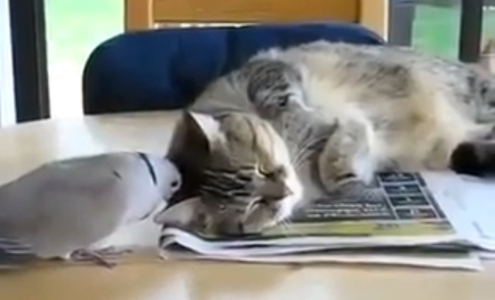 The Most Annoying bird, Doesn't let the cat sleep!