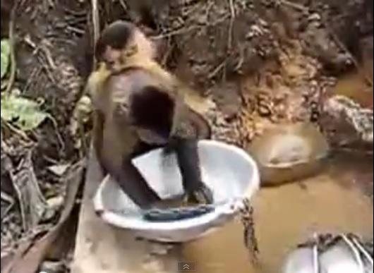 Very Clean & Hard Working Monkey
