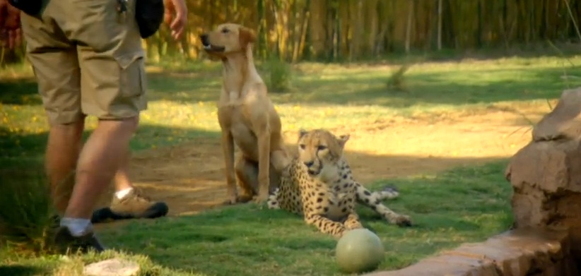 Cheetah and Dog - Unlikely animals Relationships