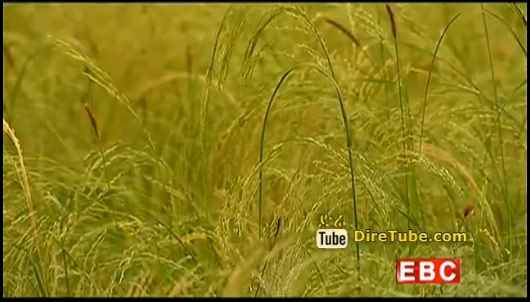 The New potential crop, Ethiopian Teff becomes popular