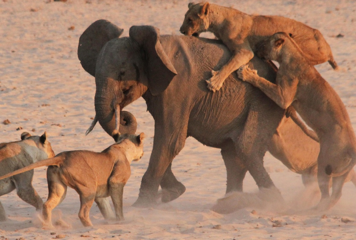 Brave Baby Elephant Attacked By 14 Lions. This Is How He Survived