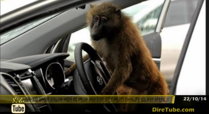Driver Baboon Causes a Car Accident in Ethiopia