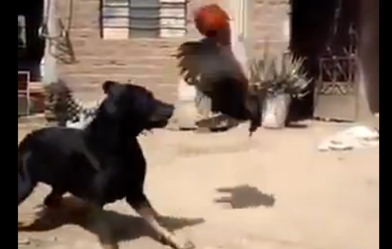 Dog vs Hen Fight Guess who win