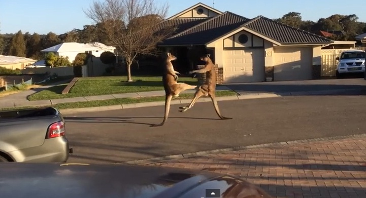 The Funniest wild kangaroo Street Fight Ever
