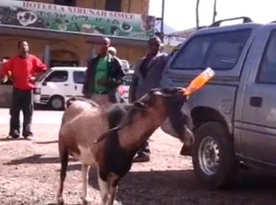 Goat Drinking Mirinda in Ethiopia