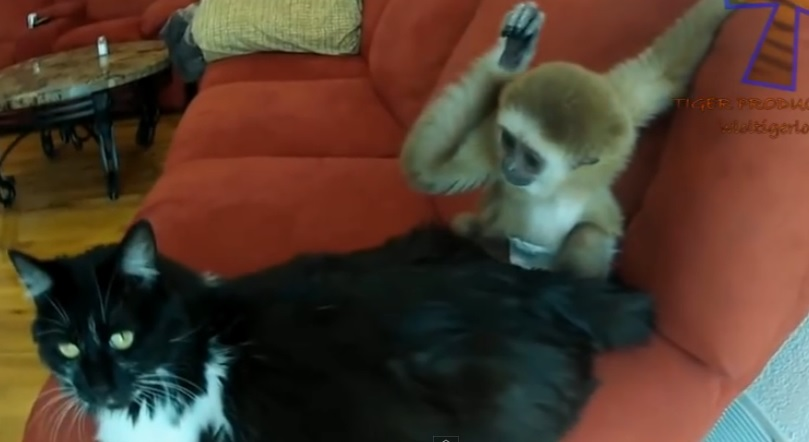 Monkeys Annoying Cats and Dogs - Funny animal compilation