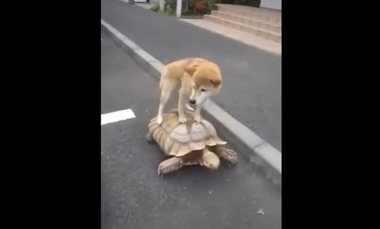 Dog Riding Tortoise