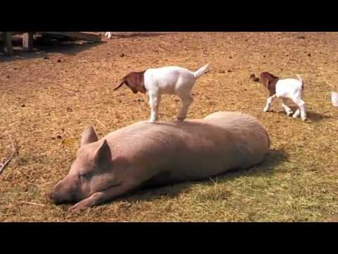 A Baby Goat Dances Around on a Pig