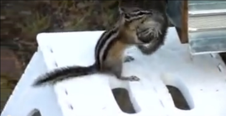 Mama Chipmunk Trying to Put Her Baby to Bed. 2:10 Is Where The Funny Starts!