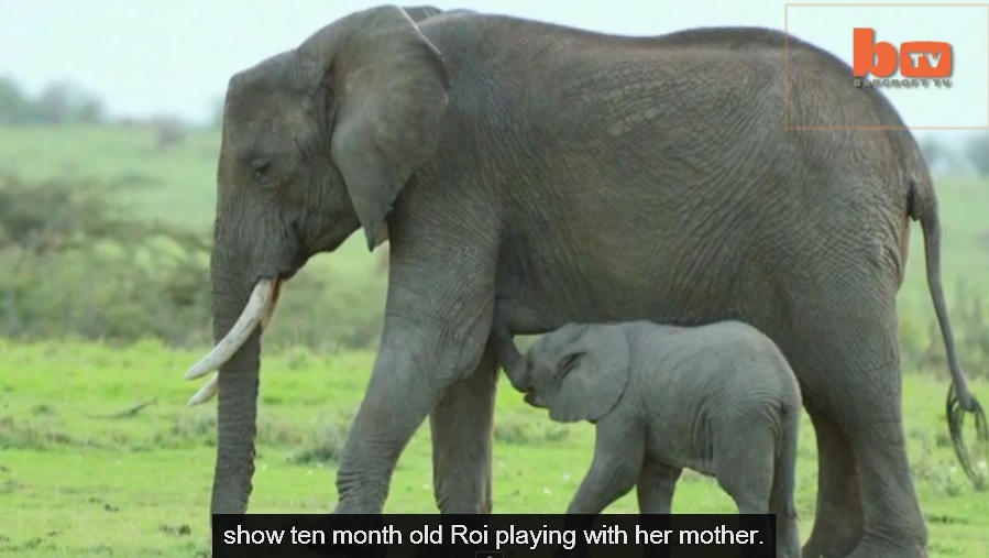 bTV - Mourning Baby Elephant Rescued After Mother Is Killed By Poachers
