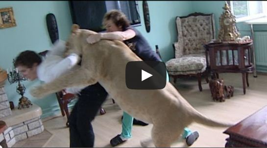 Amazing Video - Keeping A Lion As A Pet: Lion Attacks House Guest!