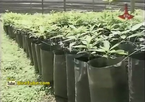 News in English - Over 1.8 Billion Seedlings are being transplanted in Amhara Region